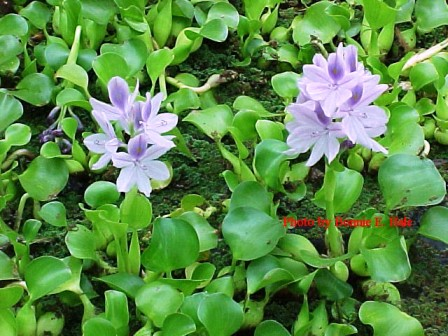 Water hyacinth eichhornia crassipes floating oxgenating for Pond fish and plants for sale